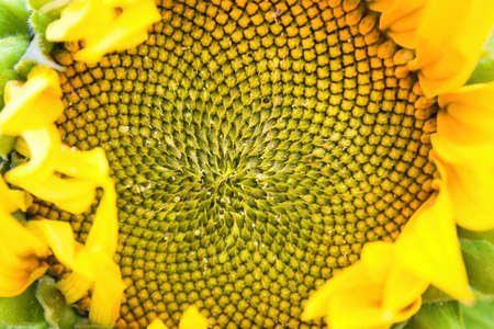 Detail of a sunflower flower on which the sun`s rays fall.View to the center of a yellow sunflower.