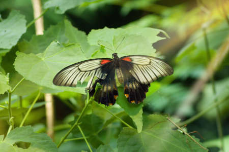 Great Yellow Mormon Butterfly on leaf.Papilio memnon, the great Mormon, is a large butterfly native to southern Asia that belongs to the swallowtail family. Archivio Fotografico