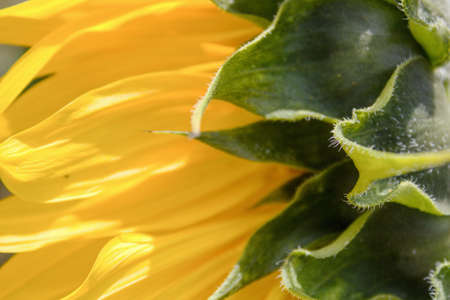 An unusual view of a sunflower from the side.Sunflower detail on which the sun`s rays fall. Standard-Bild