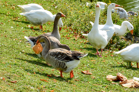 Group of gooses eating bread