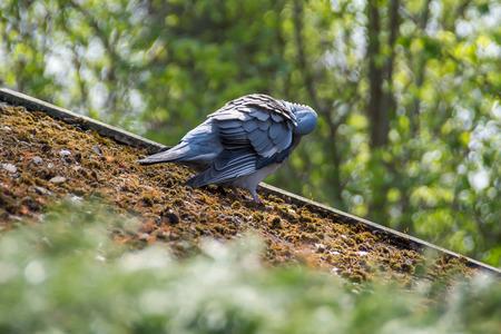 Pigeon on roof photo