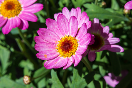 pink daisy: Pink daisy flower