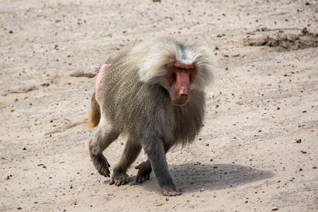 dominant: Dominant baboon Stock Photo