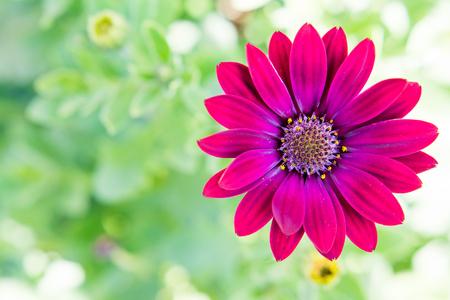 marguerite: daisy Violet sur fond vert. Espace pour le texte