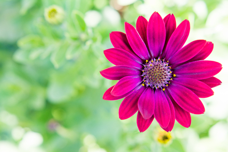 Purple daisy with green background. Space for text