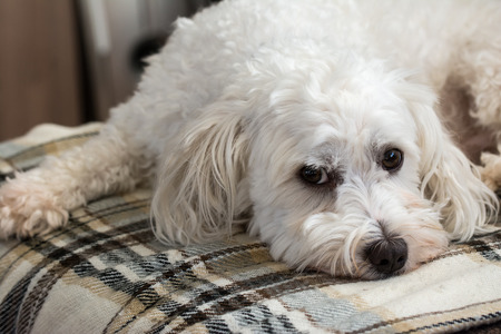 Cute maltezer dog laying on carpet