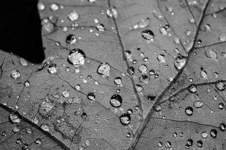 Drops on leaf macro in black and white