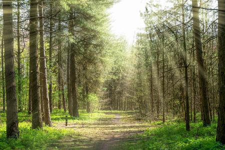 Forrest path with trees in the middle and sun rays