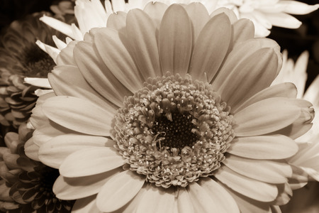 Black and white sepia toned Daisy