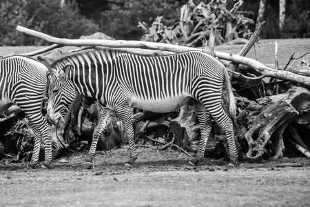 Zebra Stock fotó