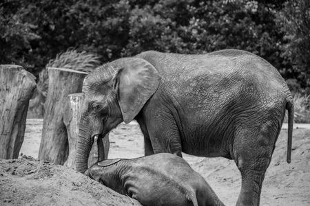 Adult and calf elephant Stock fotó