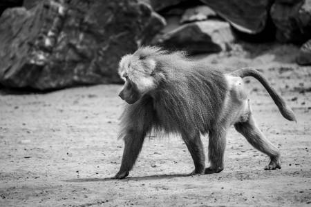 Dominant baboon Stock fotó