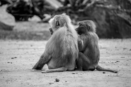 Baboons sitting on ground Stock fotó
