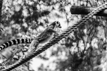 Ring-tailed lemur (lemur catta) jumping of rope Stock fotó