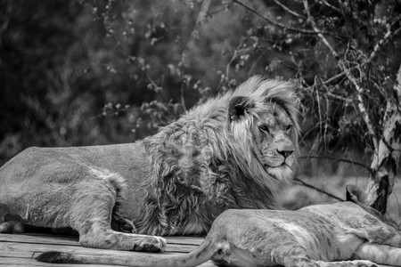 Big lion laying down