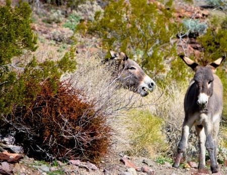 wild desert burros