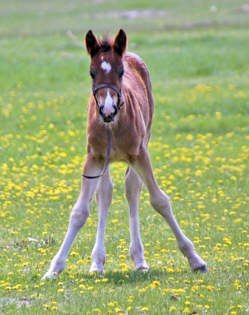 clydesdale: Springtime Foal Stock Photo