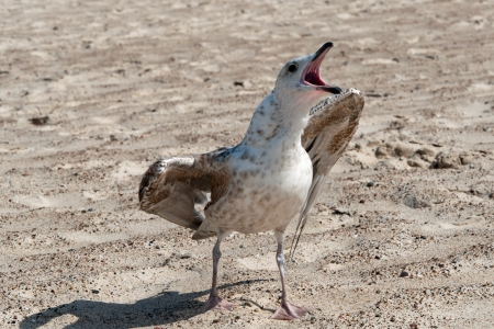 Angry seagull on the beach Stock Photo - 15207088