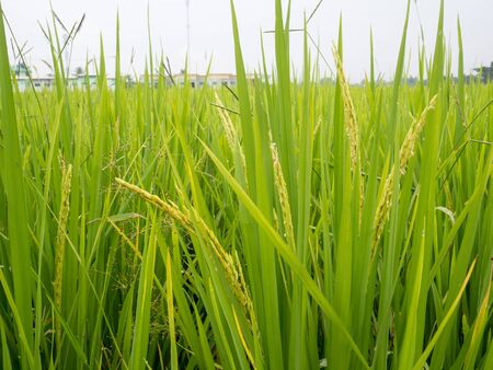 Lush green paddy rice in rice field. Spring and Summer Background.