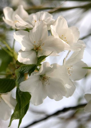 chinese pear flower photo