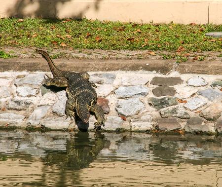 the crocodile  near the river in bangkok,thailand photo