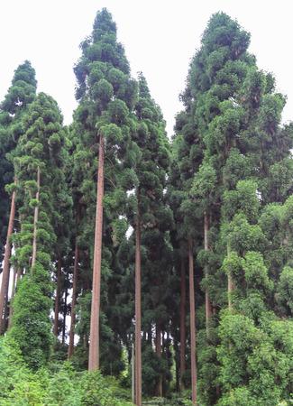El gran árbol Qiliping, Monte Emei, Sichuan, China Foto de archivo - 30012471