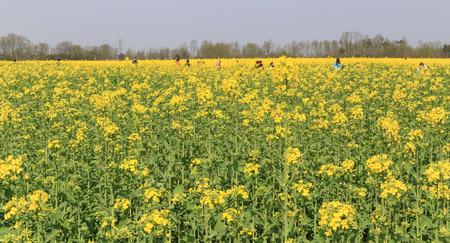 chengdu: Rape flower in the countryside, Chengdu, China Editorial