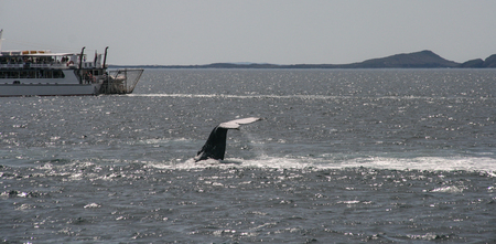 whale watching: whale watching in cruise port stephens,australia Editorial