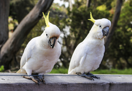ron: white parrot in ron town,australia