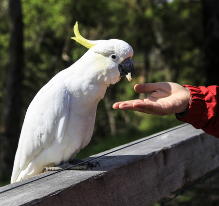ron: feeding the white parrot in ron town,australia