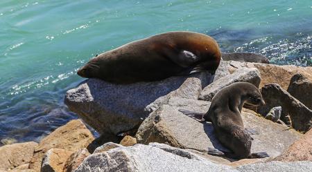 bask: seals basking on the rock,merimbula,australia