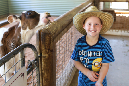 aussie: boy feeding cow in paradise country aussie farm,gold coast,australia Editorial