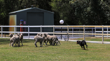 aussie: sheep dog show in paradise country aussie farm,gold coast,australia Stock Photo