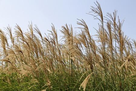 chengdu: reed in chengdu,china Stock Photo
