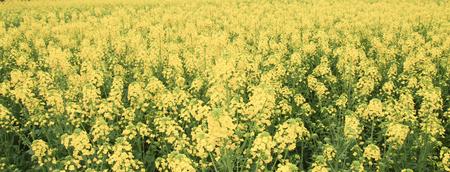 chengdu: canola flower field in chengdu,china Stock Photo