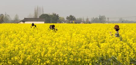 Cole flowers in chengdu,china Stock Photo