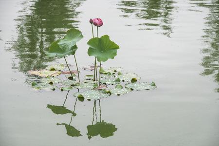 lotus pond close up 스톡 콘텐츠