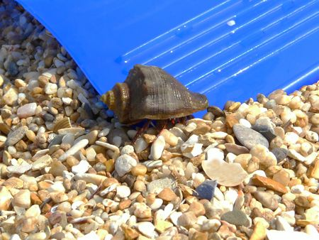 hastens: The small crab with a new cockle-shell hastens to the sea Stock Photo