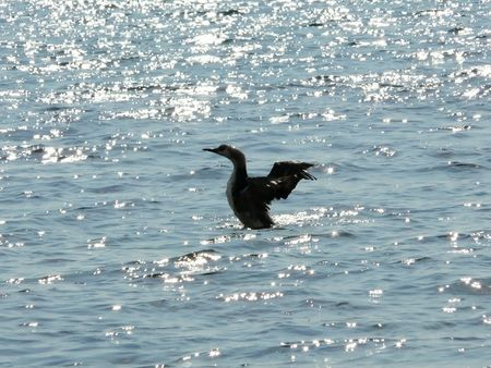 lonely bird: The lonely bird floats on the sea
