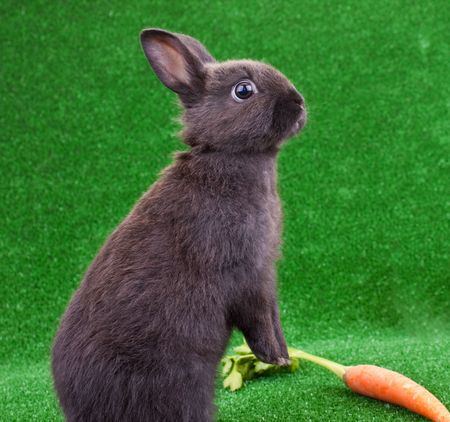 one cute black rabbit on his back legs photo