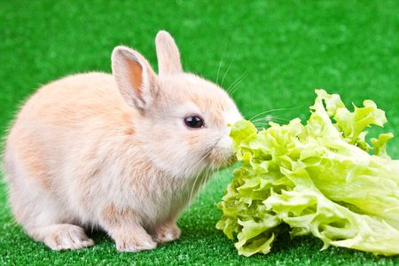 cute bunny eating salad on green background photo