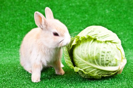 cute domestic bunny eating green  cabbage photo