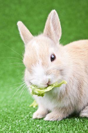 sweet little domestic rabbit eating green salad photo