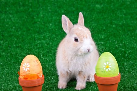 one funny bunny between two easter eggs photo