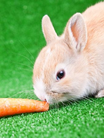 one cute domestic rabbit eating a carrot photo