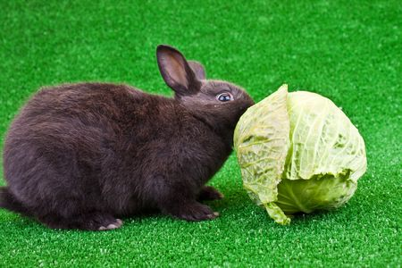one hungry little black rabbit eating vegetable photo