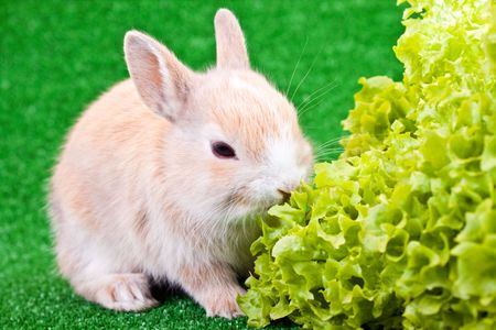 one cute little brown rabbit eating salad photo