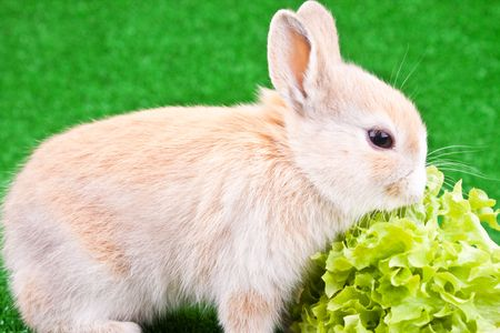 one cute little bunny eating a green salad photo