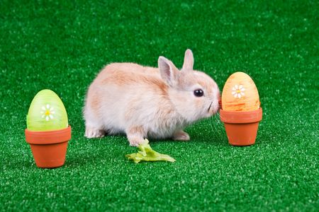 one little rabbit playing between easter eggs  photo