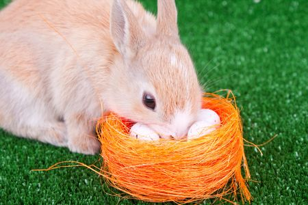 cute little rabbit sniffing easter eggs in nestle photo
